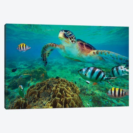 Green Sea Turtle And Sergeant Major Damselfish Group, Negros Oriental, Philippines Canvas Print #TFI1330} by Tim Fitzharris Art Print