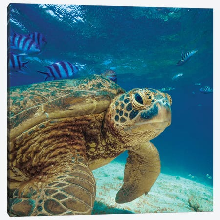 Green Sea Turtle, Balicasag Island, Philippines Canvas Print #TFI1331} by Tim Fitzharris Canvas Art Print