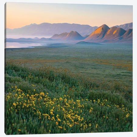 Hillside Daisies At Sunsrise, Soda Lake, Carrizo Plain Nm, California Canvas Print #TFI1334} by Tim Fitzharris Canvas Art