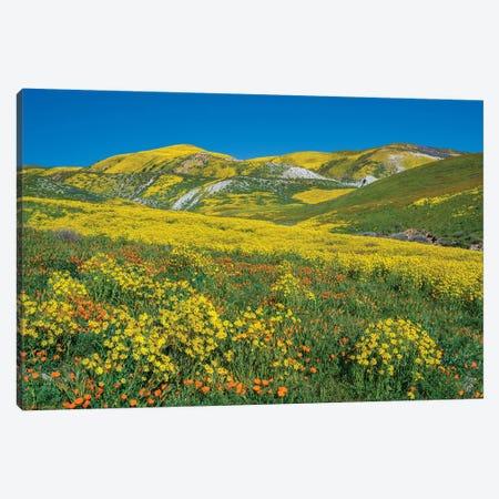 Hillside Daisy, Superbloom, Temblor Range, Carrizo Plain Nm, California Canvas Print #TFI1337} by Tim Fitzharris Canvas Artwork
