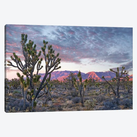 Joshua Trees And Little San Bernardino Mountains, Joshua Tree National Park, California Canvas Print #TFI1343} by Tim Fitzharris Canvas Wall Art