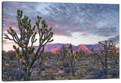Joshua Trees And Little San Bernardino Mountains, Joshua Tree National Park, California Canvas Art Print