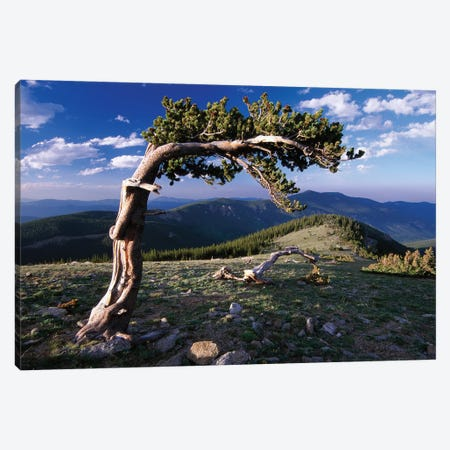 Bristlecone Pine, Mt Evans, Colorado Canvas Print #TFI134} by Tim Fitzharris Art Print