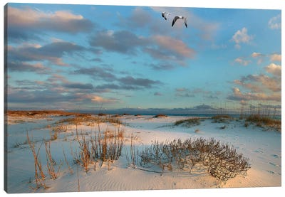 Laughing Gulls, Gulf Islands National Seashore, Florida Canvas Art Print