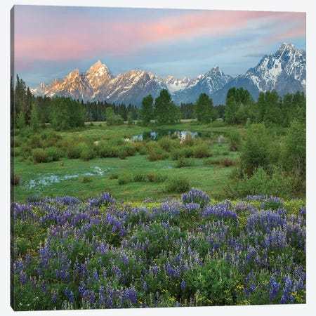 Lupine In Meadow, Grand Teton National Park, Wyoming Canvas Print #TFI1359} by Tim Fitzharris Canvas Art Print