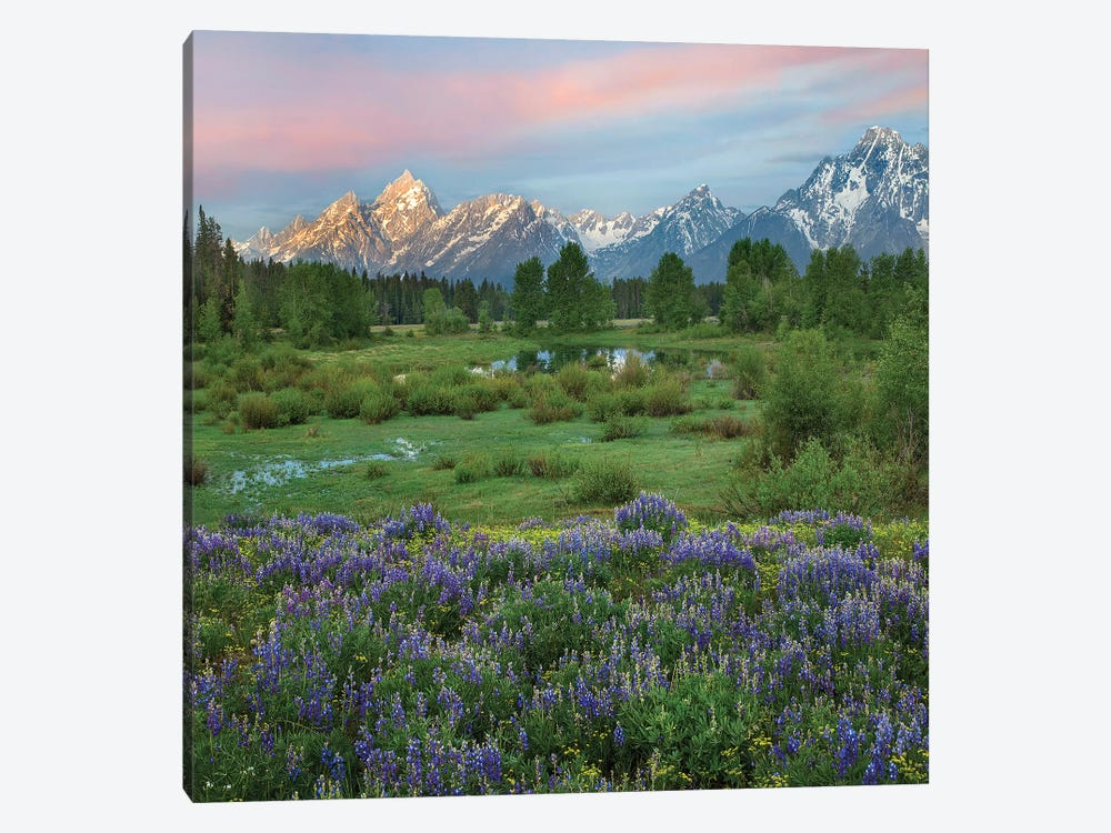 Lupine In Meadow, Grand Teton National Park, Wyoming by Tim Fitzharris 1-piece Canvas Art Print
