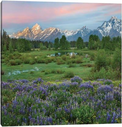 Lupine In Meadow, Grand Teton National Park, Wyoming Canvas Art Print