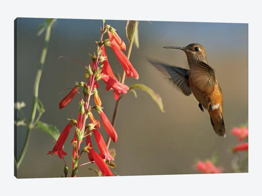Broad-Tailed Hummingbird Feeding On Flower Nectar, Santa Fe, New Mexico by Tim Fitzharris 1-piece Canvas Art Print