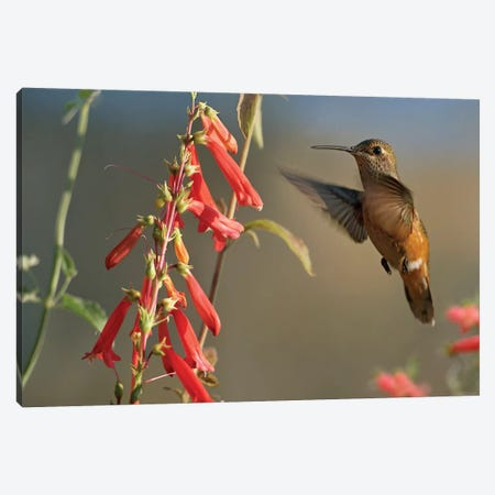 Broad-Tailed Hummingbird Feeding On Flower Nectar, Santa Fe, New Mexico Canvas Print #TFI137} by Tim Fitzharris Art Print