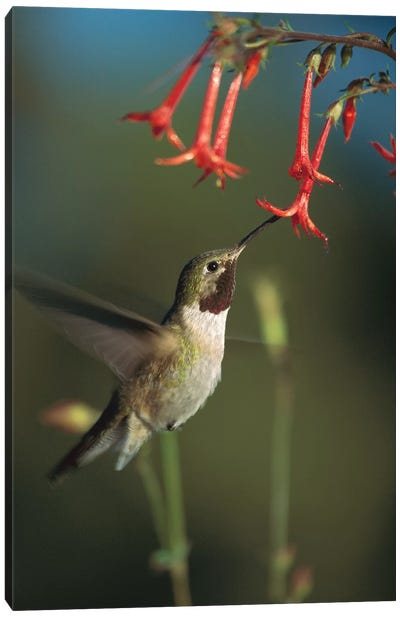 Broad-Tailed Hummingbird Feeding On Scarlet Gilia Flowers, New Mexico Canvas Art Print