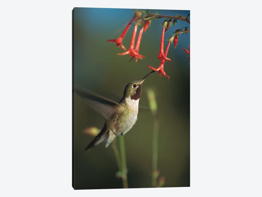 Broad-Tailed Hummingbird Feeding On Scarlet Gilia Flowers, New Mexico by Tim Fitzharris 1-piece Canvas Artwork