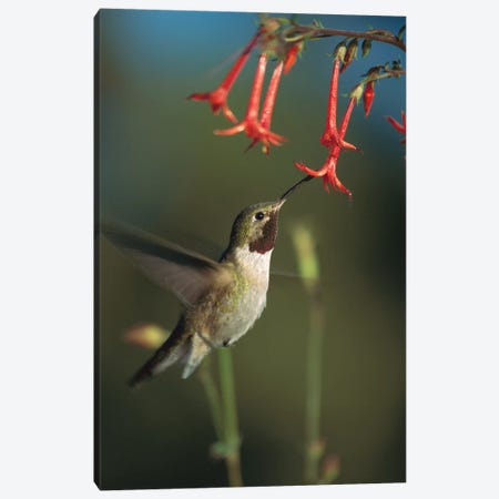 Broad-Tailed Hummingbird Feeding On Scarlet Gilia Flowers, New Mexico Canvas Print #TFI138} by Tim Fitzharris Canvas Art