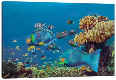 Parrotfish, Anemonefish, And Sergeant Major Damselfish, Bohol Island, Philippines Canvas Art Print