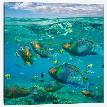 Parrotfish, Damselfish, Sergeant Major Damselfish And Basslets, Negros Oriental, Philippines Canvas Print #TFI1397} by Tim Fitzharris Canvas Art