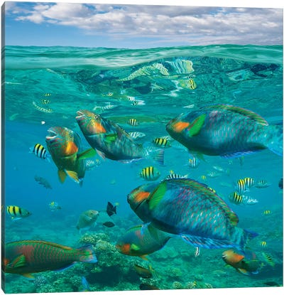 Parrotfish, Damselfish, Sergeant Major Damselfish And Basslets, Negros Oriental, Philippines Canvas Art Print