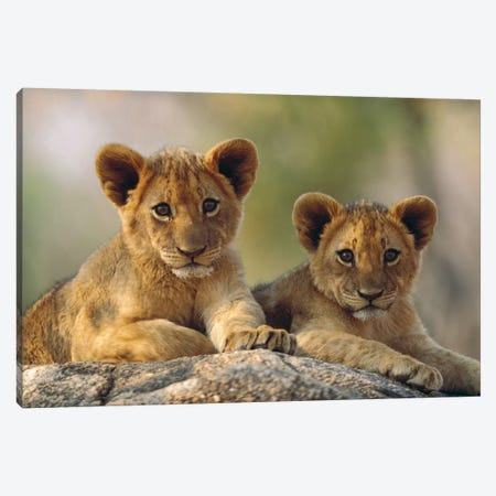 African Lion Cubs, Hwange National Park, Zimbabwe Canvas Print #TFI13} by Tim Fitzharris Canvas Print
