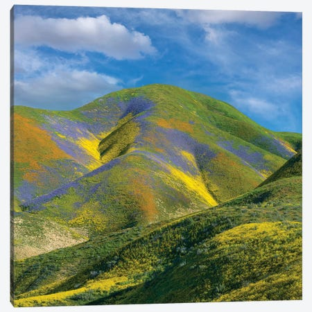 Phacelia And Hillside Daisy Wildflower Bloom, Temblor Range, Carrizo Plain Nm, California Canvas Print #TFI1402} by Tim Fitzharris Canvas Art Print
