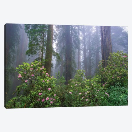 Rhododendron And Coast Redwoods In Fog, Redwood National Park, California Canvas Print #TFI1415} by Tim Fitzharris Canvas Art Print
