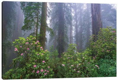 Rhododendron And Coast Redwoods In Fog, Redwood National Park, California Canvas Art Print