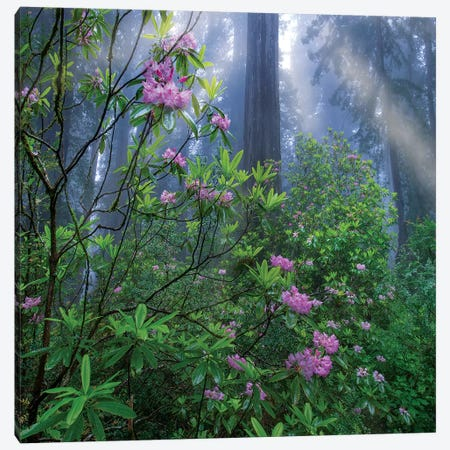 Rhododendron Flowers And Coast Redwoods In Fog, Redwood National Park, California Canvas Print #TFI1416} by Tim Fitzharris Canvas Art Print