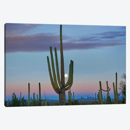 Saguaro And Moon, Saguaro National Park, Arizona Canvas Print #TFI1426} by Tim Fitzharris Canvas Wall Art