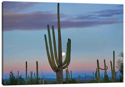 Saguaro And Moon, Saguaro National Park, Arizona Canvas Art Print