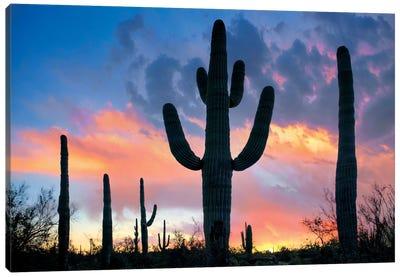 Saguaro Sunset, Joshua Tree National Park, California Canvas Art Print