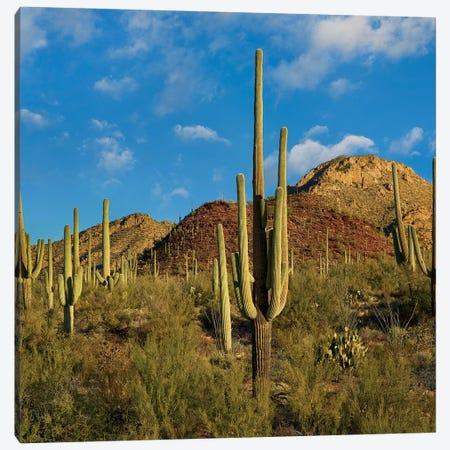 Saguaro, Tucson Mts, Saguaro National Park, Arizona Canvas Print #TFI1428} by Tim Fitzharris Canvas Print