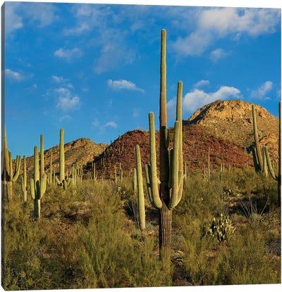 Saguaro, Tucson Mts, Saguaro National Park, Arizona Canvas Art Print