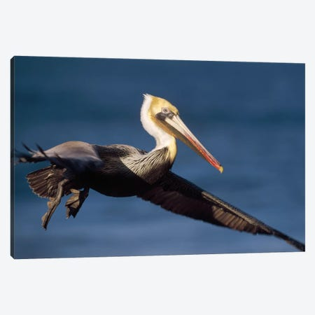 Brown Pelican Flying, California Canvas Print #TFI143} by Tim Fitzharris Art Print