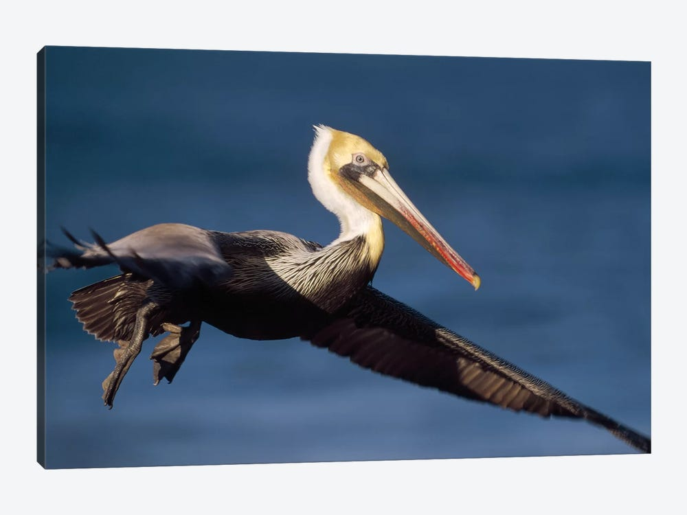Brown Pelican Flying, California by Tim Fitzharris 1-piece Canvas Art