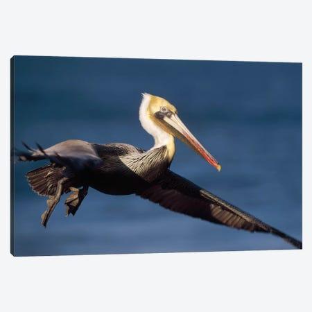 Brown Pelican Flying, California Canvas Print #TFI143} by Tim Fitzharris Art Print