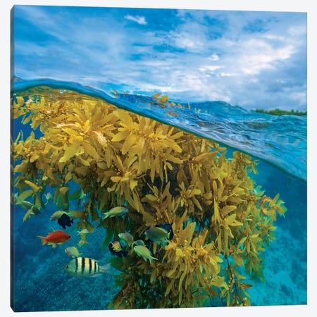 Sergeant Major, Wrasse, And Basslet And Seaweed, Ningaloo Reef, Australia Canvas Print #TFI1440} by Tim Fitzharris Canvas Art Print