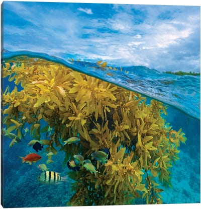 Sergeant Major, Wrasse, And Basslet And Seaweed, Ningaloo Reef, Australia Canvas Art Print