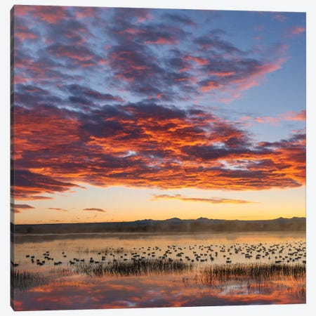Snow Geese At Sunrise, Bosque Del Apache Nwr, New Mexico Canvas Print #TFI1445} by Tim Fitzharris Canvas Artwork