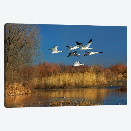 Snow Geese Flying, Bosque Del Apache Nwr, New Mexico Canvas Print #TFI1446} by Tim Fitzharris Canvas Wall Art