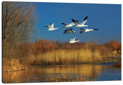 Snow Geese Flying, Bosque Del Apache Nwr, New Mexico Canvas Art Print