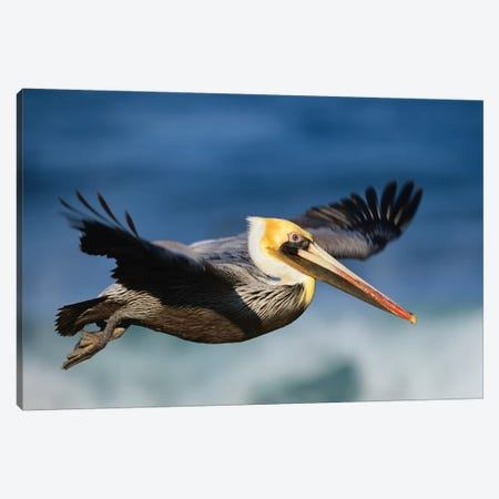 Brown Pelican Flying, North America Canvas Print #TFI144} by Tim Fitzharris Canvas Artwork