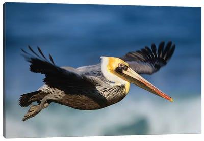 Brown Pelican Flying, North America Canvas Art Print