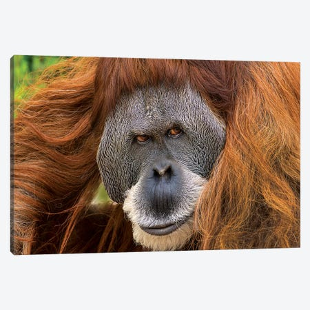 Sumatran Orangutan Male, Native To Sumatra Canvas Print #TFI1452} by Tim Fitzharris Canvas Artwork