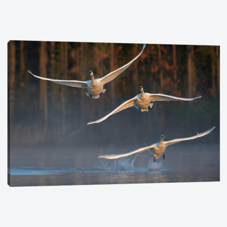 Trumpeter Swan Trio Flying, Magness Lake, Arkansas Canvas Print #TFI1466} by Tim Fitzharris Canvas Wall Art