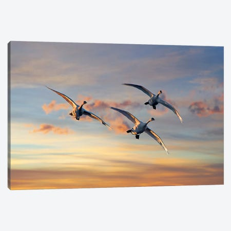 Trumpeter Swan Trio Flying, Magness Lake, Arkansas Canvas Print #TFI1467} by Tim Fitzharris Canvas Art