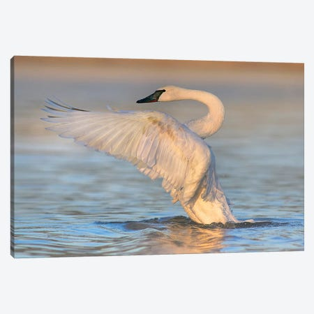 Trumpeter Swans Flapping, Magness Lake, Arkansas Canvas Print #TFI1468} by Tim Fitzharris Art Print