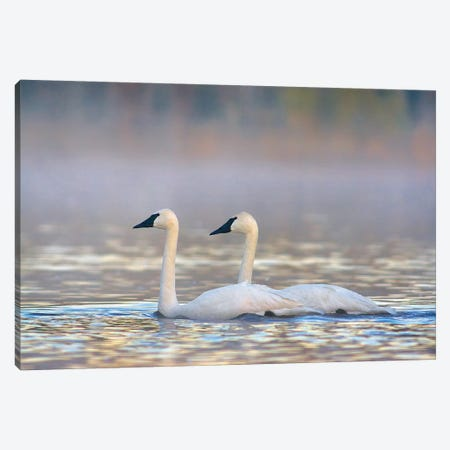Trumpeter Swans, Magness Lake, Arkansas Canvas Print #TFI1469} by Tim Fitzharris Canvas Print