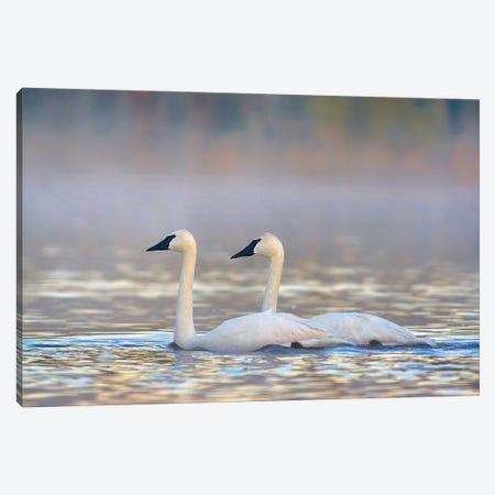 Trumpeter Swans, Magness Lake, Arkansas Canvas Print #TFI1469} by Tim Fitzharris Canvas Print