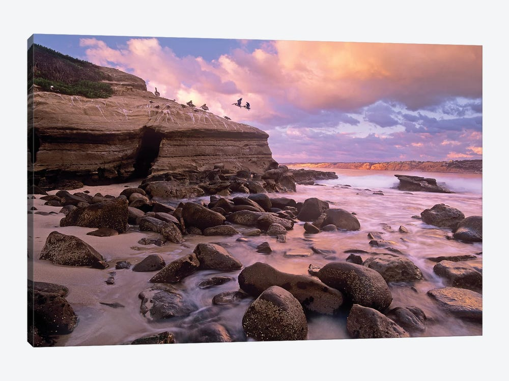 Brown Pelican Pair Landing On Coastal Rocks, La Jolla, California 1-piece Canvas Print