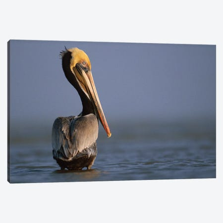 Brown Pelican, Texas Canvas Print #TFI147} by Tim Fitzharris Canvas Artwork