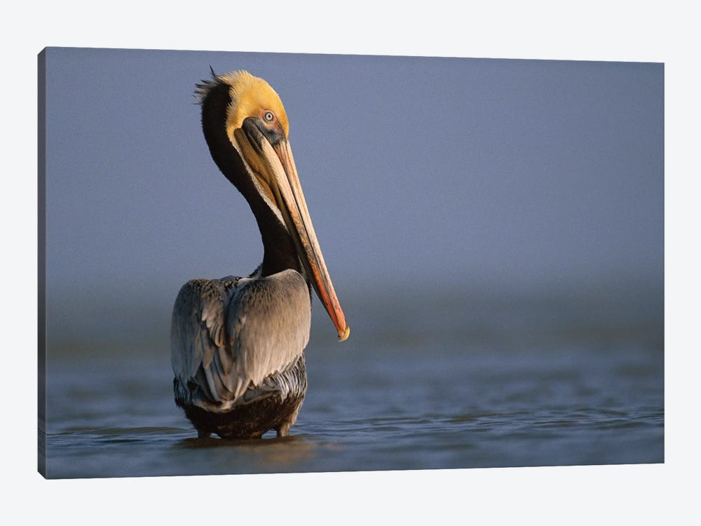 Brown Pelican, Texas by Tim Fitzharris 1-piece Canvas Artwork