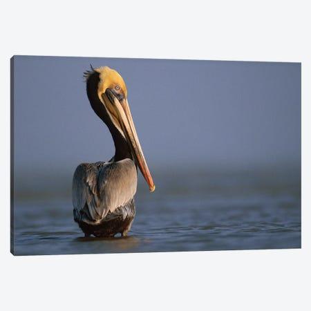 Brown Pelican, Texas Canvas Print #TFI147} by Tim Fitzharris Canvas Artwork