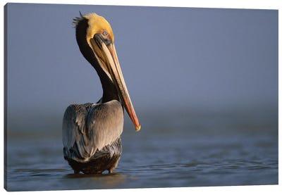 Brown Pelican, Texas Canvas Art Print